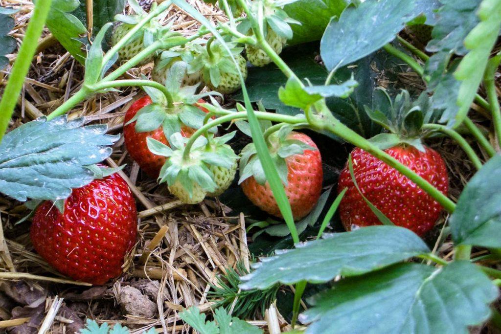 Erdbeeren kurz vor der Ernte