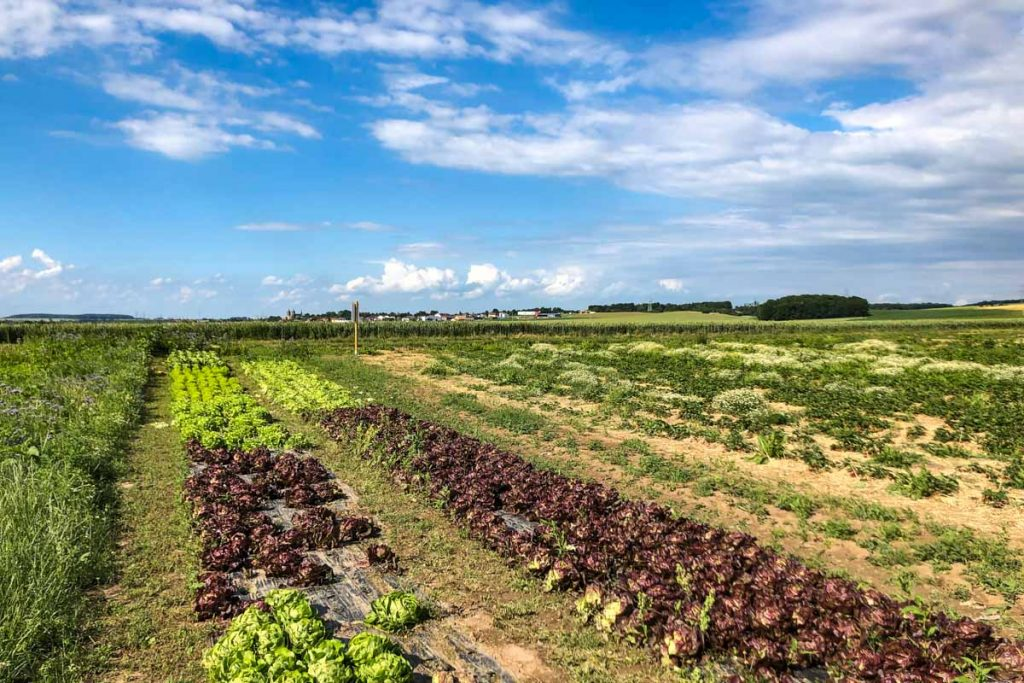 Salat auf dem Spargel- und Erdbeerhof Baer